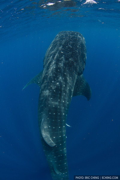 A whale shark botella. Whale shark (Rhincodon typus) at a feeding aggregation off of Isla Mujeres, Mexico
