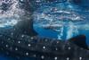 Kieran Liu, age 5, swims with a whale shark (Rhincodon typus) at a feeding aggregation off of Isla Mujeres, Mexico