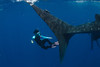 Kozy Kitchens demonstrates the incredible size of a whale shark's tail. Whale shark (Rhincodon typus) at a feeding aggregation off of Isla Mujeres, Mexico