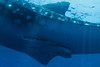Glaspers on a large male whale shark (Rhincodon typus) at a feeding aggregation off of Isla Mujeres, Mexico