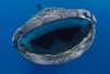 A whale shark botella opens its mouth wide to feed on tunny (bonito tuna) eggs. Whale shark (Rhincodon typus) at a feeding aggregation off of Isla Mujeres, Mexico
