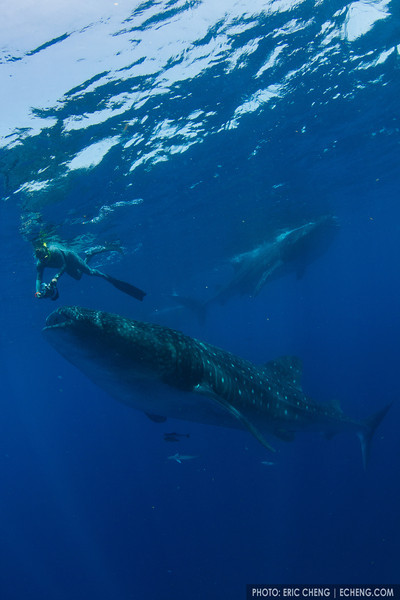 Douglas Seifert photographs a whale shark (Rhincodon typus) at a feeding aggregation off of Isla Mujeres, Mexico