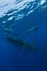 Douglas Seifert photographs a whale shark (Rhincodon typus) at a feeding aggregation off of Isla Mujeres, Mexico