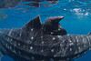 A damaged dorsal fin of a whale shark (Rhincodon typus) at a feeding aggregation off of Isla Mujeres, Mexico