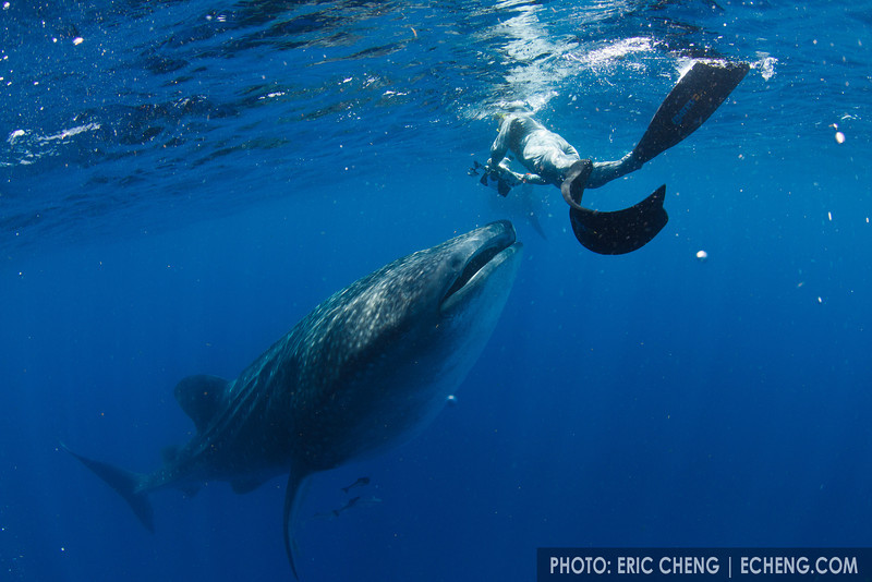 Douglas Seifert photographs a whale shark botella. Whale shark (Rhincodon typus) at a feeding aggregation off of Isla Mujeres, Mexico