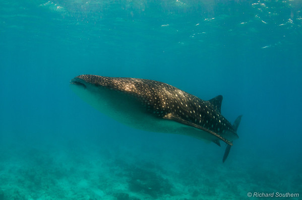 Whale Sharks, South Ari Atol, Maldives.