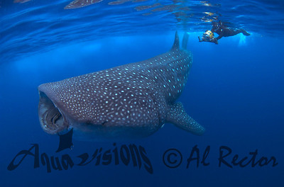 Whale Sharks from Mexico 2010