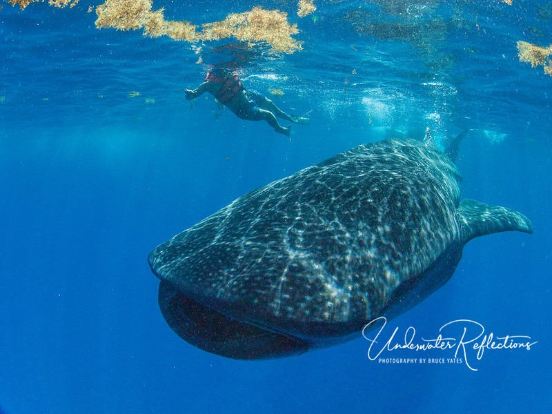 A whale shark swimming beneath Sargassum Weed and a snorkeler.  The yellowish film on the surface directly above the whale shark is a film of fish eggs - the very thing drawing whale sharks in.