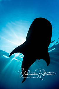 Whale shark silhouette (Isla Mujeres, Mexico)
