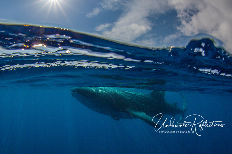 Just beneath the surface swam huge whale sharks - in search of floating fish eggs (several species of fish spawn during a few weeks in July and August each year).