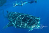The spots belong to the whale shark, but the white lines are merely sunlight, refracted through ripples on the surface.