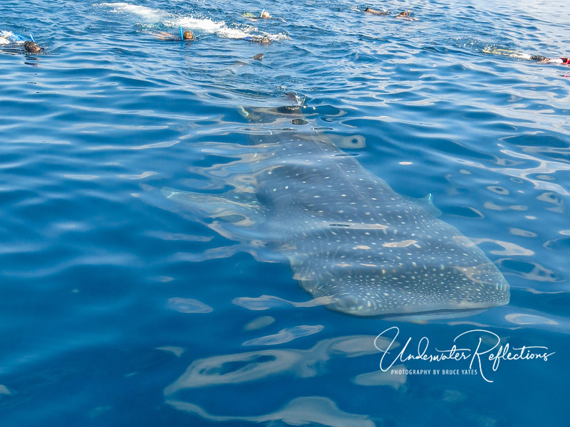 By the time the armada of tour boats arrived,each whale shark was pursued by numerous snorkelers swimming frantically after it.