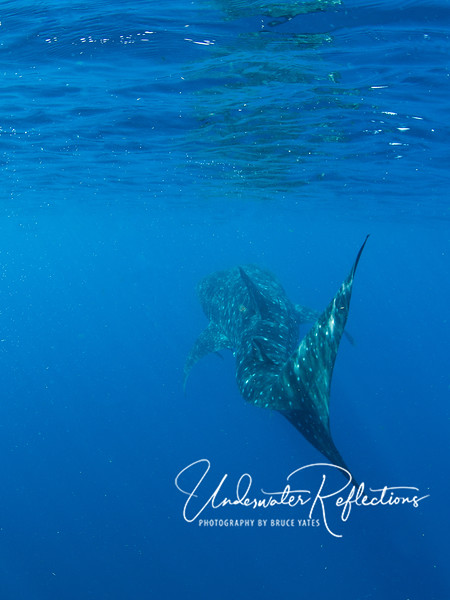 Looking almost like a snake, the whale sharks slowly moved their entire bodies back and forth, seeming to propel themselves effortlessly through the water.
