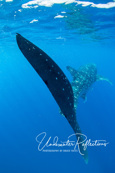 As whale sharks passed by, we had to be careful not to be hit by their slowly swinging tails, which were often over 6 ft high!
