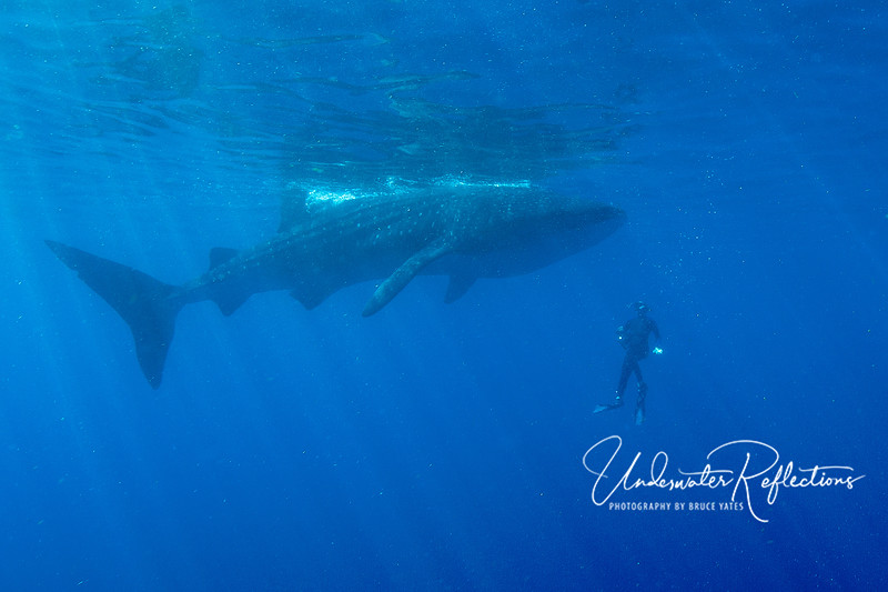 Whale sharks are huge, but harmless.  It is amazing to think that a creature this size feeds only on tiny plankton (krill, fish eggs, etc.).