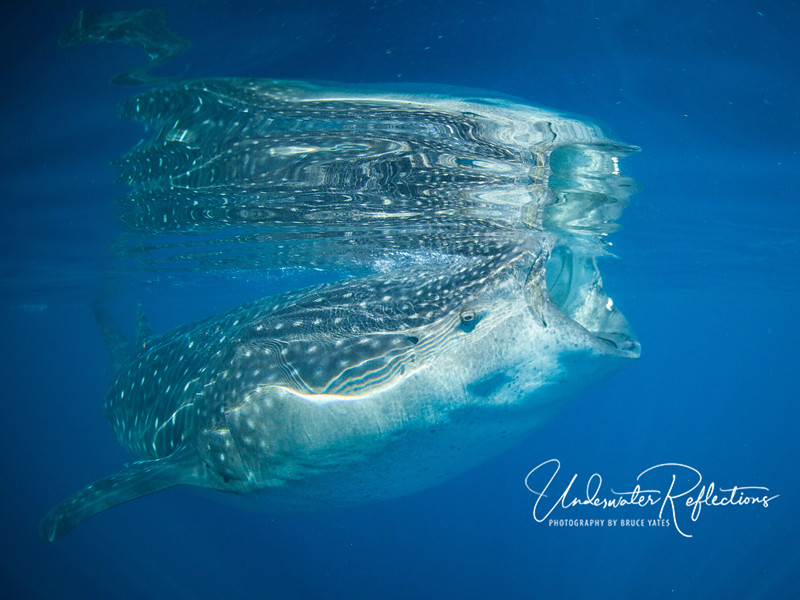 The ocean's surface was calm and smooth as glass most mornings, as whale sharks silently skimmed along.