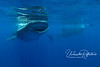 Two whale sharks, feeding on the film of yellowish fish eggs on the calm surgace.