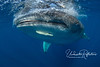 Remora on whale shark's chin