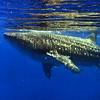 shark - whale