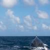 Humpback Whales<br /> <br /> Silver Bank, <br /> Dominican Republic