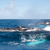 Humpback Whales<br /> <br /> Humpbacks are uniquely distinguished from other species by their large white pectoral fins.  They produce a beautiful aquamarine sheen below the water as the whale swims on the surface.<br /> <br /> Silver Bank, <br /> Dominican Republic