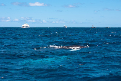 Humpback Calf and Mother  A Humpback calf swims on the surface alongside our chase boat.  The aquamarine shadow below the calf is its mother.  During this nursing time on the Silver Bank the mother is never more than a few yards away from her calf.  Background from left:  Turks & Caicos Explorer, Turks & Caicos Aggressor (our ship), the wreck of the Polyxeni, and a chase boat from Explorer.