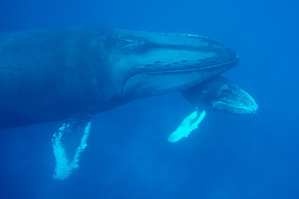 Humpback Whale mother and calf  A Humpback mother and calf share an intimate moment.  Silver Bank,  Dominican Republic