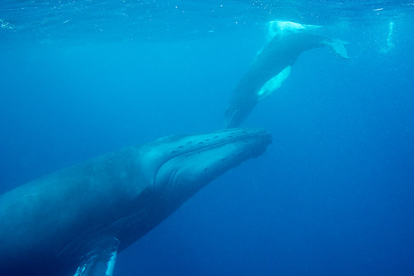 Humpback Whale mother and calf  Silver Bank,  Dominican Republic