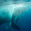 Humpback Whale mother and calf<br /> <br /> Silver Bank, <br /> Dominican Republic