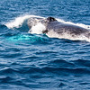 Humpback Whales<br /> <br /> Whales are conscious breathers.  The two blow holes are clearly visible on the whale's rostrum.<br /> <br /> Silver Bank, <br /> Dominican Republic