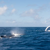 Humpback Whales<br /> <br /> Pectoral fin slapping often occurs as males in competition groups fight for the right to mate with a female.<br /> <br /> Silver Bank, <br /> Dominican Republic