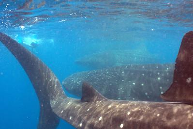 3 whale sharks