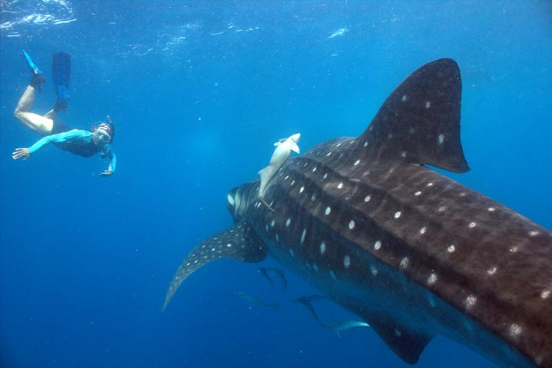 whale sharks 2013