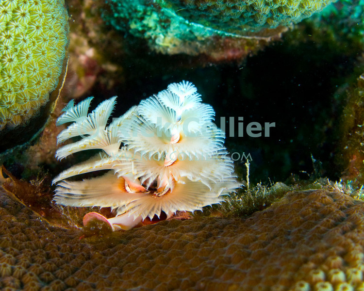 "Diving Bonaire, Netherland Antilles -- A delicate christmastree worm.  (""Andrea 2"" dive site)   © Rick Collier<br /> <br /> <br /> <br /> <br /> Bonaire; ""Netherlands Antilles""; Caribbean; tropic; tropical; vacation; destination; diving; underwater; dive; scuba; ""scuba diving""; ""Andrea 2""; ""Andrea II""; worm; ""christmastree worm""; ""christmas tree worm""; coral"
