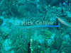 """St. Eustatius (Statia) Underwater - Scuba divers usually hope to spot this unusual-looking blue-headed fish (a trumpetfish), which is a regular at """"hangover reef.""""  © Rick Collier"""
