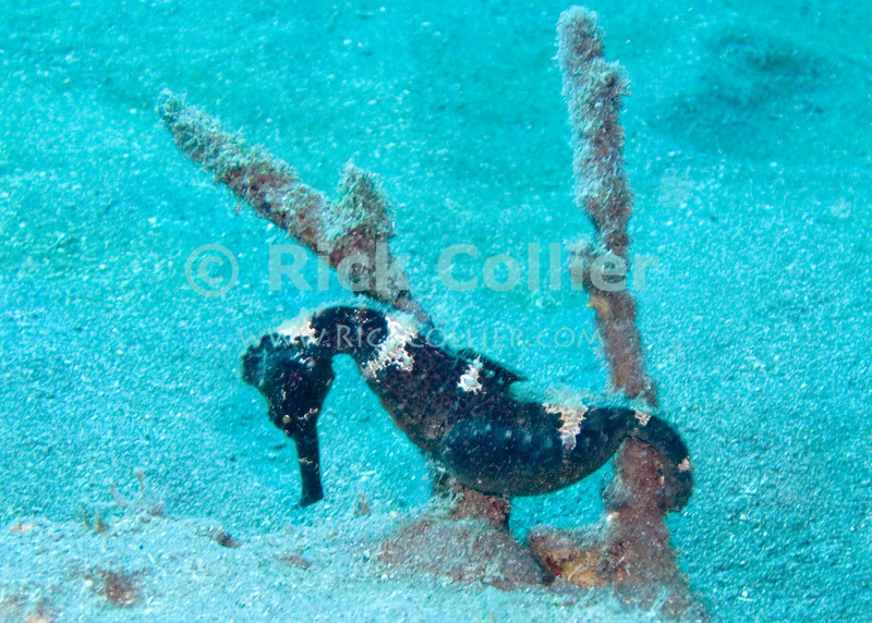 """Saba Underwater - This lined seahorse was easy to find during a scuba dive along the sandy bottom at the """"hot springs"""" dive site, off the Caribbean island of Saba.  © Rick Collier"""