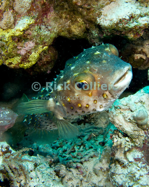 "Red Sea, Egypt -- A large porcupinefish suddenly burst out of a hole in the reef wall. © Rick Collier / RickCollier.com.<br /> <br /> Egypt; ""Red Sea""; vacation; travel; destination; underwater; uw; ""u/w""; scuba; ""scuba dive""; ""scuba diving""; dive; diving; coral; reef; ""coral reef""; ""dive site""; Tiran; ""Tiran straits""; ""straits of Tiran""; Woodhouse; ""Woodhouse Reef""; fish; porcupine; ""porcupine fish""; porcupinefish"