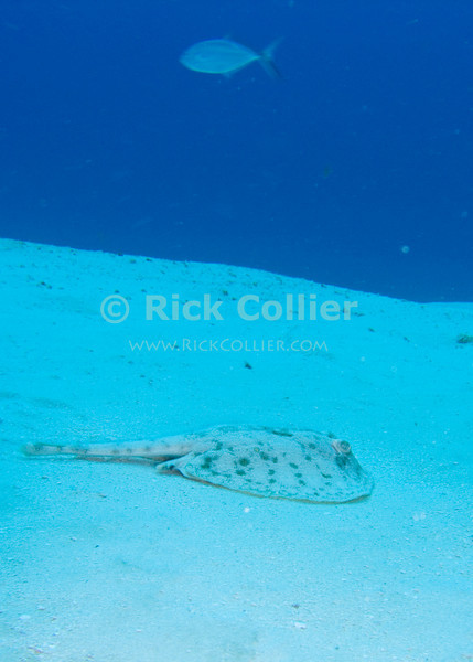 "An electric stingray rests on the sand bottom, while its companion blue runner fish cruises above.  Taken while scuba diving on the ""Santa Rosa Wall"" dive site in Cozumel, Mexico.  © Rick Collier"