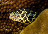 """Diving Bonaire, Netherland Antilles -- Beautiful and a bit unusual for its unusual yellow chain link pattern, a chain moray eel peers out from its hiding place.  (""""Witch's Hut"""" dive site -- also known as """"Weber's Joy"""")  © Rick Collier<br /> <br /> <br /> <br /> <br /> Bonaire; """"Netherlands Antilles""""; Caribbean; tropic; tropical; vacation; destination; underwater; scuba; diving; dive; """"scuba diving""""; reef; coral; """"coral head""""; """"Witch's Hut""""; """"Weber's Joy""""; eel; moray; """"moray eel""""; """"chain moray""""; """"chain moray eel"""";"""