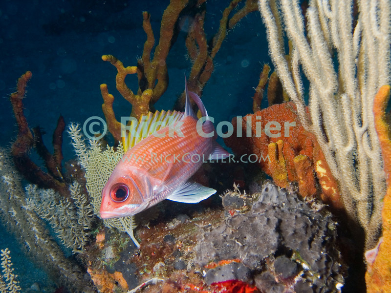 "A squirrelfish pauses atop a reef outcropping, next to a sea whip coral.  St. Eustatius (Statia), Netherlands Antilles.<br /> <br /> <br /> <br /> <br /> ""St. Eustatius"" ""Saint Eustatius"" Statia Netherlands Antilles ""Lesser Antilles"" Caribbean SCUBA dive diver sea bottom sea floor rocks coral hole reef sand bottom sea floor seafloor sea bed tube sponge fish Tomtate coral sea whip"