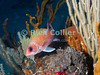 """A squirrelfish pauses atop a reef outcropping, next to a sea whip coral.  St. Eustatius (Statia), Netherlands Antilles.<br /> <br /> <br /> <br /> <br /> """"St. Eustatius"""" """"Saint Eustatius"""" Statia Netherlands Antilles """"Lesser Antilles"""" Caribbean SCUBA dive diver sea bottom sea floor rocks coral hole reef sand bottom sea floor seafloor sea bed tube sponge fish Tomtate coral sea whip"""
