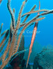 St. Eustatius (Statia) Underwater - Scuba divers in the Caribbean become accustomed to this fish.  Trumpetfish usually hide by floating vertically, head down in vertical plants or soft corals to look like part of the larger reef structure.  © Rick Collier