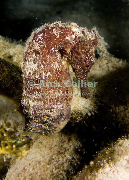 """Diving Bonaire, Netherland Antilles -- A brown seahorse.  (Night dive at Kralendijk Pier)   © Rick Collier<br /> <br /> <br /> <br /> <br /> Bonaire; """"Netherlands Antilles""""; Caribbean; tropic; tropical; vacation; destination; diving; underwater; dive; scuba; """"scuba diving""""; Kralendijk; pier; """"Kralendijk pier""""; """"the pier""""; """"pier dive""""; """"town pier""""; night; """"night dive""""; seahorse; """"sea horse"""";"""