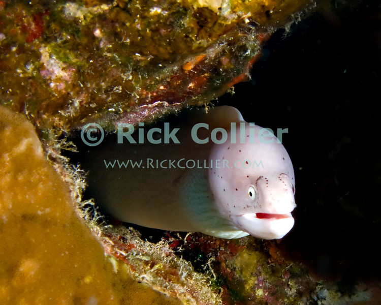 """Red Sea, Egypt -- A small Grey Moray eel (also known as a """"white moray"""" or a """"ghost moray"""") looks out from the reef. © Rick Collier / RickCollier.com.<br /> <br /> <br /> <br /> <br /> <br /> Egypt; """"Red Sea""""; vacation; travel; destination; underwater; uw; """"u/w""""; scuba; """"scuba dive""""; """"scuba diving""""; dive; diving; coral; reef; """"coral reef""""; """"dive site""""; """"Ras Muhammad""""; """"Ras Mohamed""""; """"national park""""; """"underwater park""""; """"Ras Muhammad National Park""""; """"nature reserve""""; Gazlani; """"Ras Gazlani""""; point; """"Gazlani Point""""; eel; """"moray eel""""; """"white moray""""; """"ghost moray""""; """"grey moray""""; """"white moray eel""""; """"ghost moray eel""""; """"grey moray eel""""; """"gray moray eel"""""""