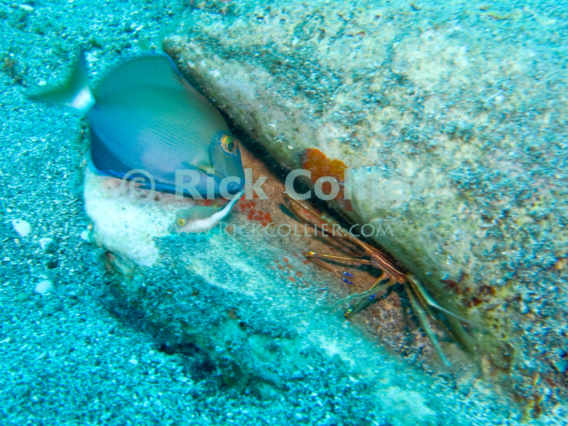"""A small surgeonfish tries to get at a yellowline arrow crab, hiding in a large abandoned conch shell.  St. Eustatius (Statia), Netherlands Antilles.<br /> <br /> <br /> <br /> <br /> """"St. Eustatius"""" """"Saint Eustatius"""" Statia Netherlands Antilles """"Lesser Antilles"""" Caribbean underwater diving ocean SCUBA dive sand bottom sea floor fish surgeonfish yellowline arrow crab"""