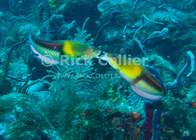 St. Eustatius (Statia) Underwater - While scuba diving, I came across this pair of fish (yellowhead wrasse) who seemed to hold their mating kiss, hovering above the reef for minutes while I set up a picture.  © Rick Collier