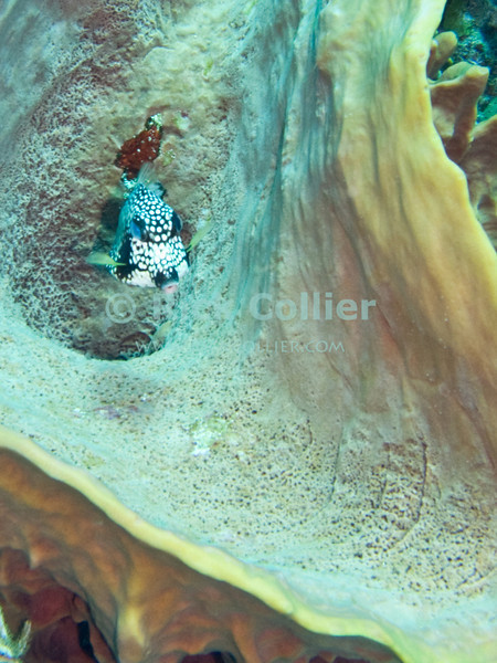 "A boxfish hides inside a barrel sponge.  St. Eustatius (Statia), Netherlands Antilles.<br /> <br /> <br /> <br /> <br /> ""St. Eustatius"" ""Saint Eustatius"" Statia Netherlands Antilles ""Lesser Antilles"" Caribbean underwater diving ocean SCUBA dive reef barrel sponge fish boxfish"