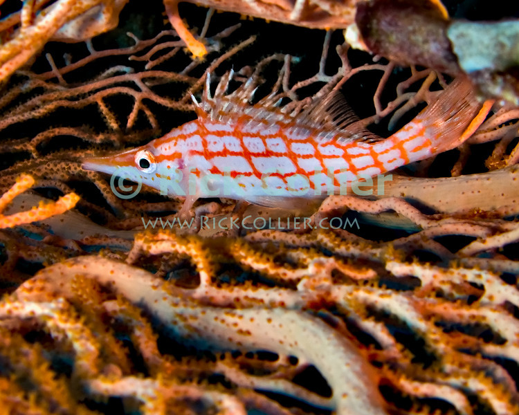 "Red Sea, Egypt -- A longnose hawkfish hides between fan corals.  This small fish is common inn the Red Sea, but may be hard to spot as it is very shy and will usually stay hidden or hide when approached. © Rick Collier / RickCollier.com.<br /> <br /> <br /> <br /> <br /> <br /> <br /> Egypt; ""Red Sea""; vacation; travel; destination; underwater; uw; ""u/w""; scuba; ""scuba dive""; ""scuba diving""; dive; diving; coral; reef; ""coral reef""; ""dive site""; Tiran; ""Tiran straits""; ""straits of Tiran""; ""Jackson Reef""; ""fan coral""; fish; hawkfish; ""hawk fish""; ""longnose hawkfish"""