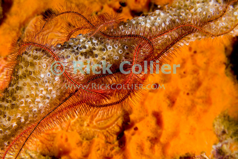 "Diving Bonaire, Netherland Antilles -- A brighly colored brittle starfish feeds at night on small corals encrusting an old pipe.  (Night dive at Kralendijk Pier)   © Rick Collier<br /> <br /> <br /> <br /> <br /> Bonaire; ""Netherlands Antilles""; Caribbean; tropic; tropical; vacation; destination; diving; underwater; dive; scuba; ""scuba diving""; Kralendijk; pier; ""Kralendijk pier""; ""the pier""; ""pier dive""; ""town pier""; night; ""night dive""; starfish; ""star fish""; ""brittle star""; ""brittle starfish""; coral; corals;"