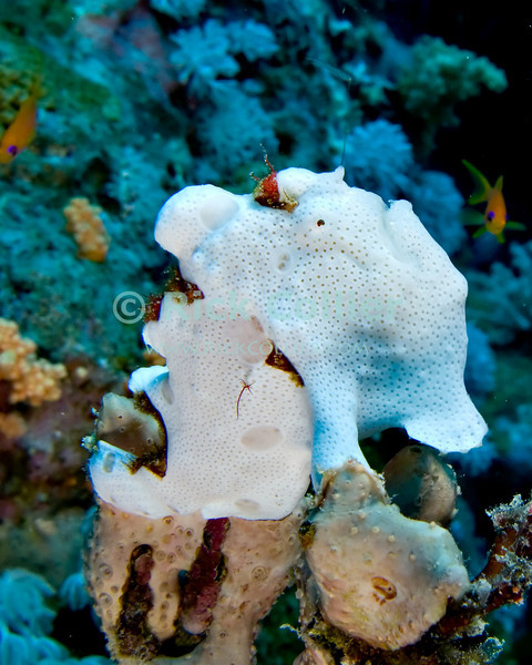 """Red Sea, Egypt -- A bright white frogfish sits motionless atop a coral stalk.  The unusually-shaped frogfish normally sits motionless, waving a lure on a short stalk just above the fish's mouth and gulping any small prey that may be attracted by the lure.  Approached by a diver or large fish, the frogfish will remain motionless, depending on camouflage to avoid being eaten. © Rick Collier / RickCollier.com.<br /> <br /> <br /> <br /> <br /> <br /> <br /> <br /> Egypt; """"Red Sea""""; vacation; travel; destination; underwater; uw; """"u/w""""; scuba; """"scuba dive""""; """"scuba diving""""; dive; diving; coral; reef; """"coral reef""""; """"dive site""""; Tiran; """"Tiran straits""""; """"straits of Tiran""""; """"Jackson Reef""""; fish; frogfish; """"frog fish"""""""